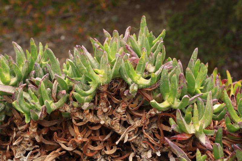 Succulents van Huckleberry Hill Nature Preserve royalty-vrije stock afbeelding