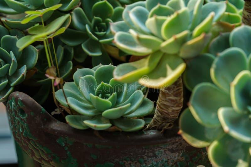 Succulents verts sur le pot images stock