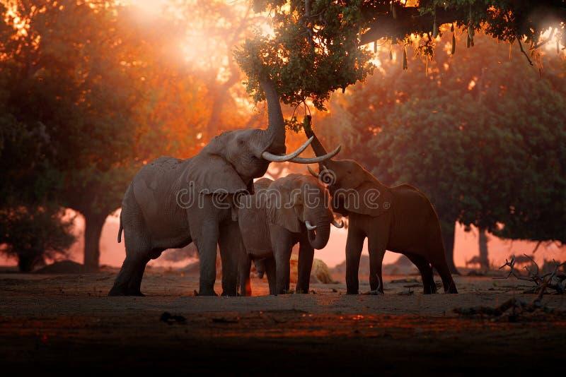 Succursale di un albero per l'alimentazione degli elefanti Elefante a Mana Pools NP, Zimbabwe in Africa Un grande animale nella l fotografia stock libera da diritti