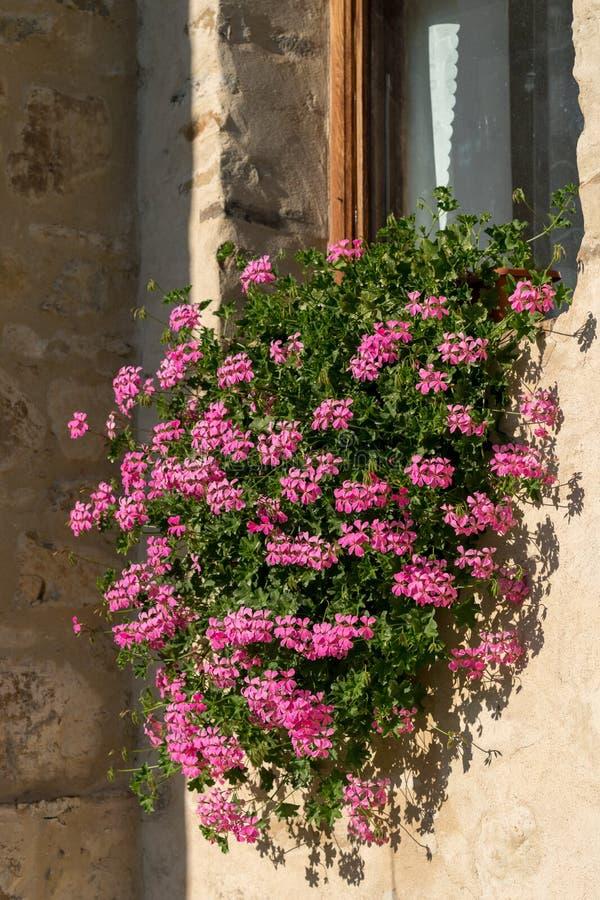 SUCEVITA, MOLDOVIA/ROMANIA - 18 SEPTEMBRE : Fleur rose de géranium photographie stock