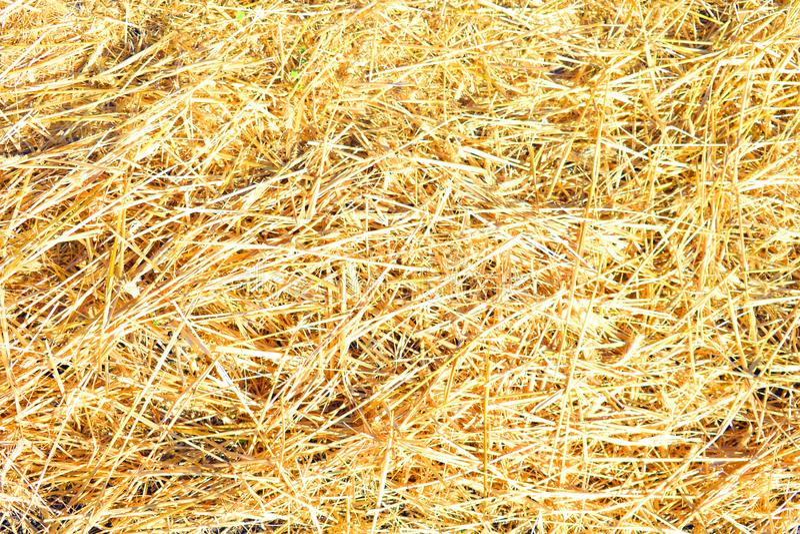 Sucha żółta słomiana trawy tła tekstura obraz stock