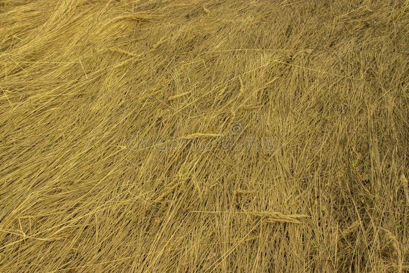 Sucha żółta trawa z kolcami, tło tekstury struktury wzór Pole z wysuszoną trawy siana słomą w naturze fotografia royalty free