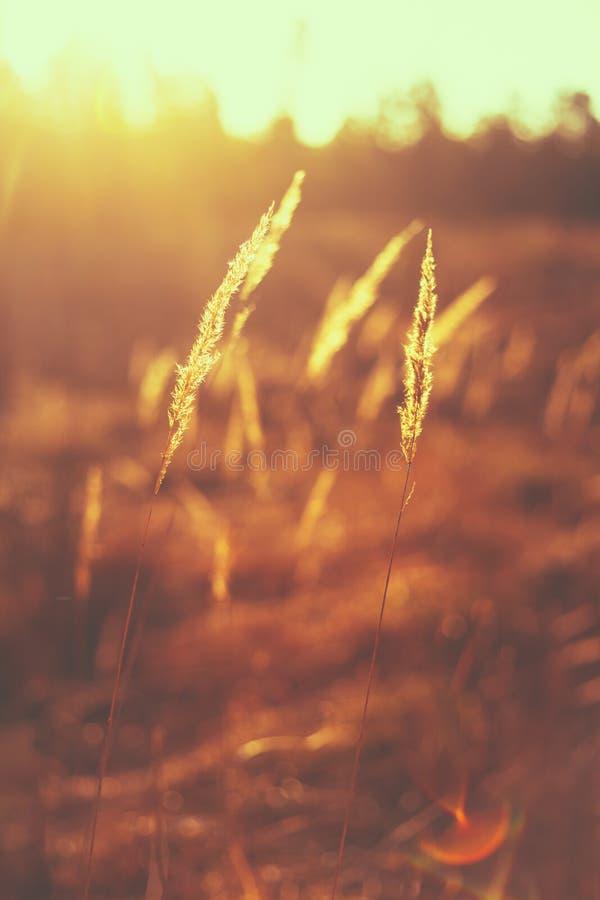 Sucha Czerwona trawy pola łąka obraz stock