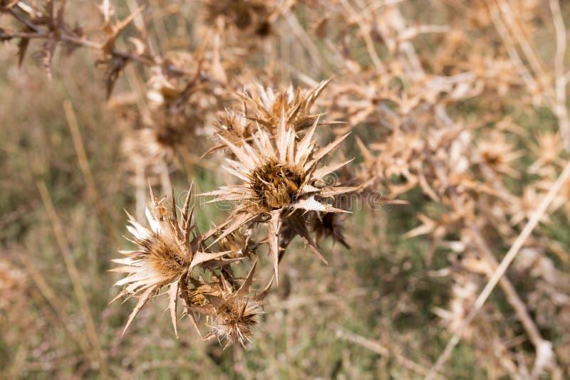 Sucha kłująca trawa outdoors obrazy stock