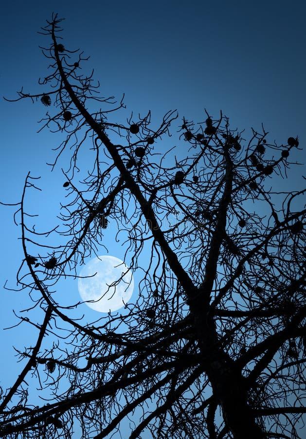 Sucha nieżywa sosny sylwetka, księżyc w pełni i obrazy royalty free