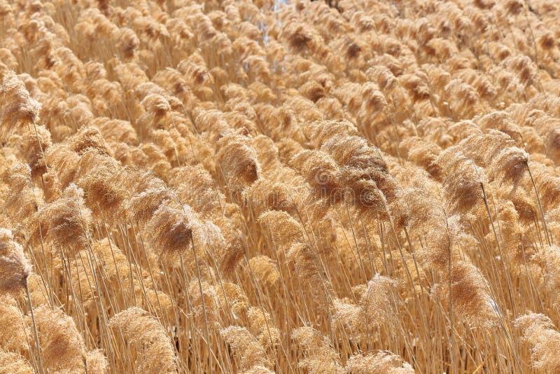 Sucha płocha na jeziorze Złota trzcinowa trawa w słońcu zdjęcie royalty free
