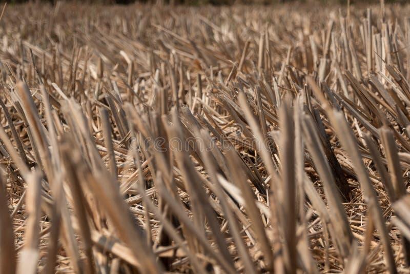 Sucha ryżowa ścierń w ziemi uprawnej po żniwa obrazy stock