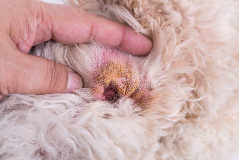 Sucha uszata skóra pies, sugeruje objaw Słuchowy krwiak obraz royalty free