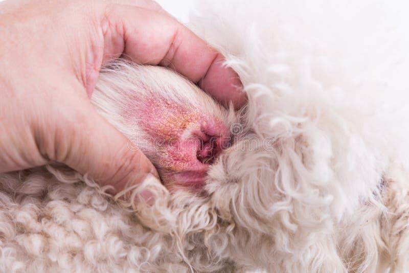 Sucha uszata skóra pies, sugeruje objaw Słuchowy krwiak zdjęcie stock