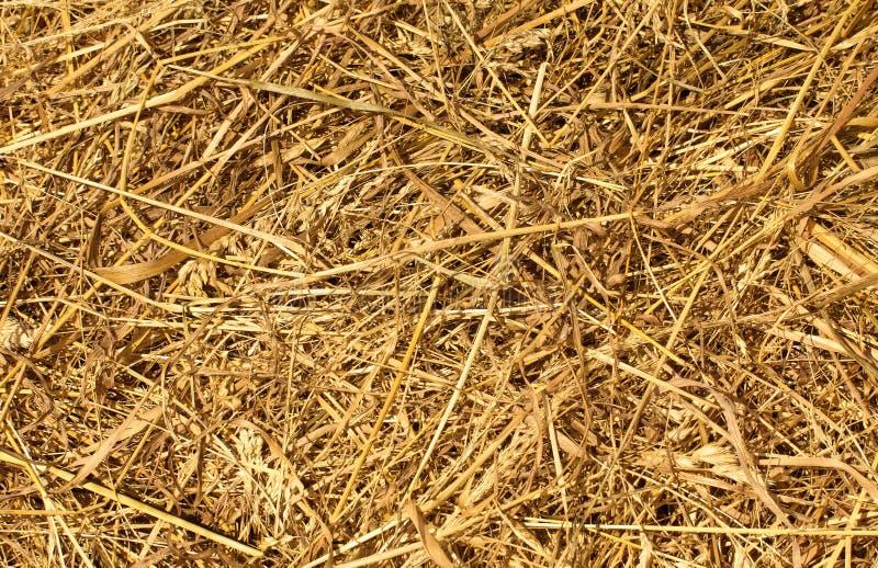 Sucha Złota siana lub słomy tekstura zdjęcie stock