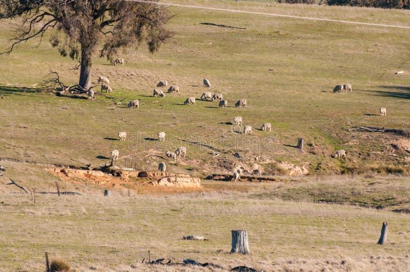 Sucha ziemia uprawna z baranim pasaniem susza australii fotografia stock