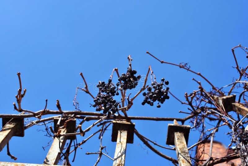 Suche błękitne gronowe owoc na gałąź bez liści na podławym żelaza ogrodzeniu, nieba tło zdjęcie stock