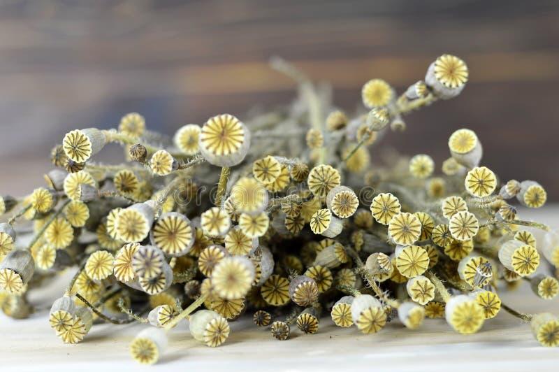 Suche makowe kwiat głowy zdjęcie royalty free