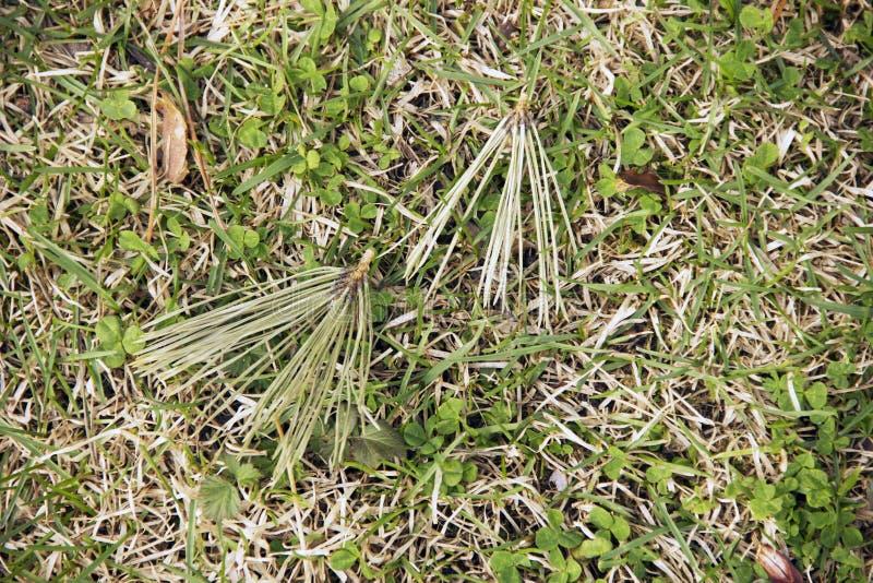 Suche sosnowe igły spadali od kłamstwa na zielonej trawie i drzewa fotografia royalty free