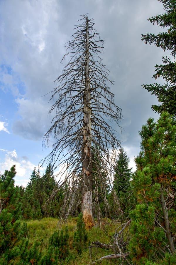 suche stare drzewo fotografia royalty free