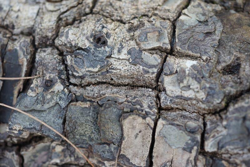 Suchej skóry drzewo obrazy royalty free