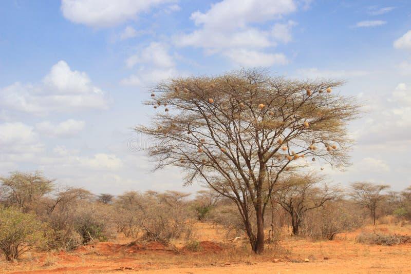 Suchy akacjowy drzewo w Afrykańskiej sawannie z wiele mały ptak gniazduje zdjęcia stock
