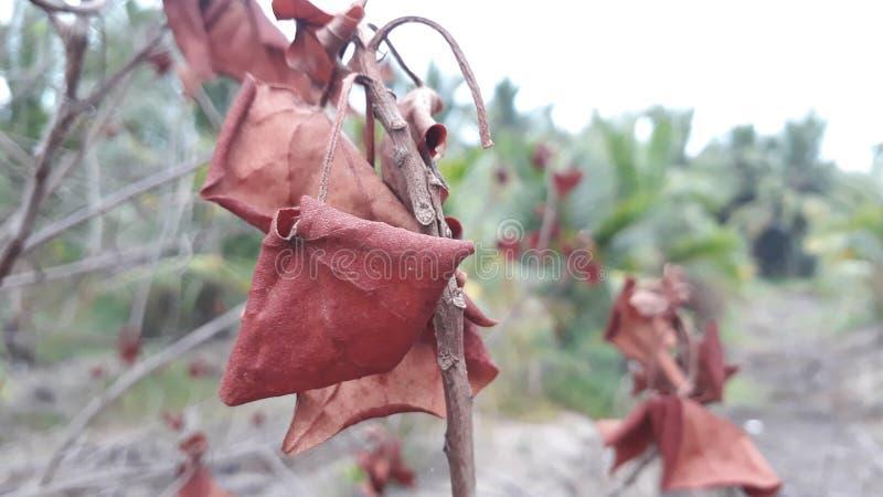 Suchy czerwony liść fotografia stock
