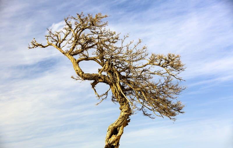 Suchy dębowy drzewo przeciw zdjęcie royalty free