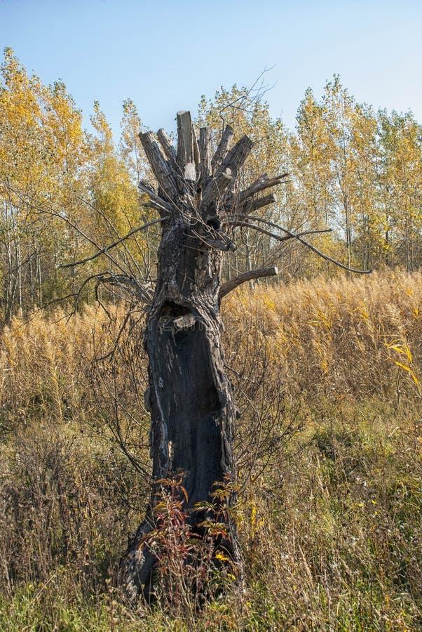 Suchy drewno w łące obrazy royalty free