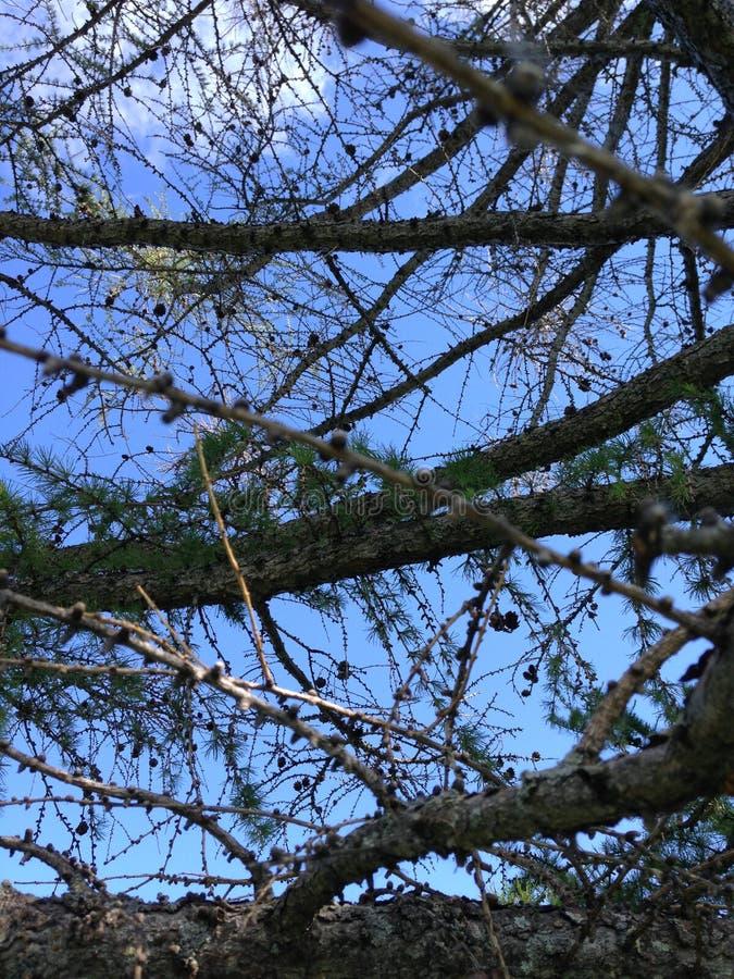 Suchy drzewo na nieba tle zdjęcie royalty free