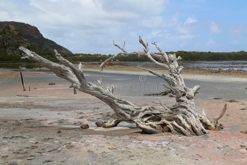 Suchy drzewo przy solankowym stawem przy Grande Zasolonym, St Barts, Francuscy Zachodni Indies zdjęcie royalty free