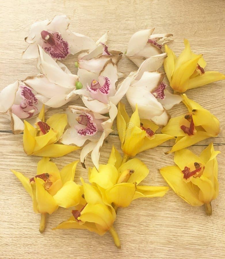 Suchy koloru żółtego i bielu storczykowy Cymbidium kwitnie kłaść dalej na drewnianym tle Żółty i biały storczykowy Cymbidium fotografia royalty free