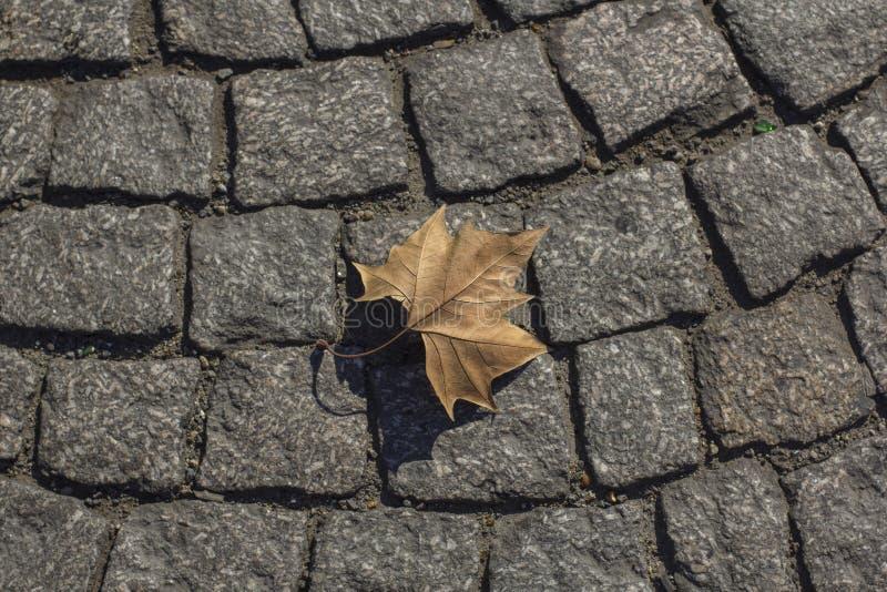 Suchy liść klonowy na bruku w Paris zdjęcie stock