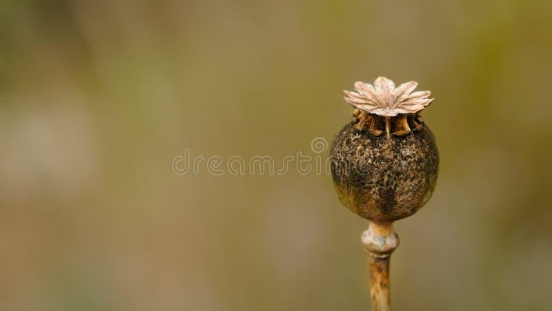 Suchy Makowy kwiat obrazy stock