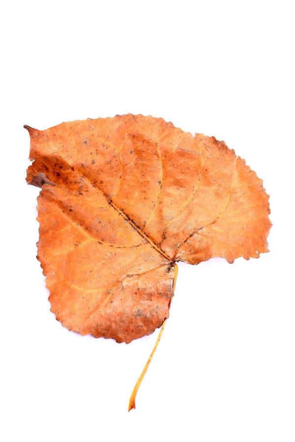 Suchy popularny drzewny liść fotografia royalty free