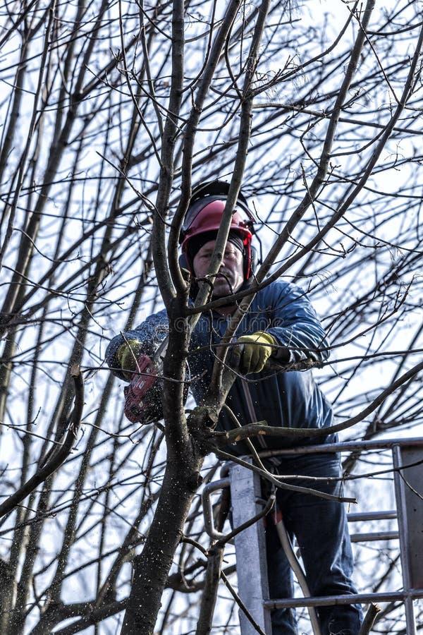 Suchy przycinać drzewa mężczyzna z piłą łańcuchową, stoi na machinalnej platformie obraz royalty free