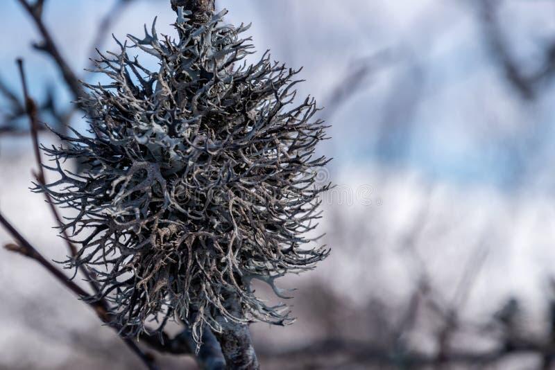 Suchy zima mech liszaj przy gałąź obrazy stock