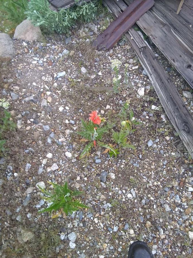Suciedad muerta de la hierba de la flor roja de la amapola lejos fotografía de archivo libre de regalías
