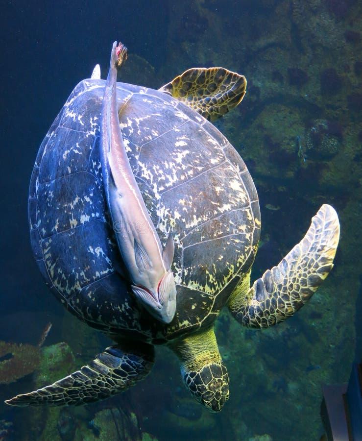 Suckerfish auf einer Suppenschildkröte lizenzfreie stockfotos
