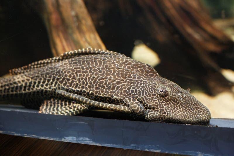 Suckermouth-Wels Hypostomus-plecostomus lizenzfreies stockbild