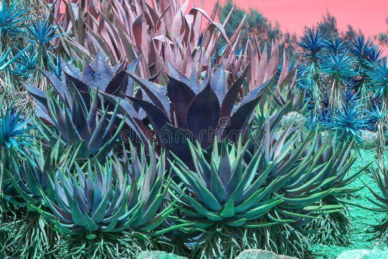 Suckulent agave och aloe vera planterar rosa orange himmel arkivbilder