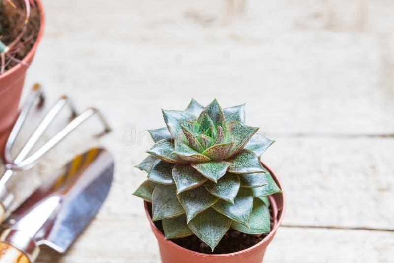 Suckulent i en krukacloseup på en grå träbakgrund Närliggande är krattar en skulderblad och, hjälpmedel för trädgårdsmästaren Tra royaltyfri bild