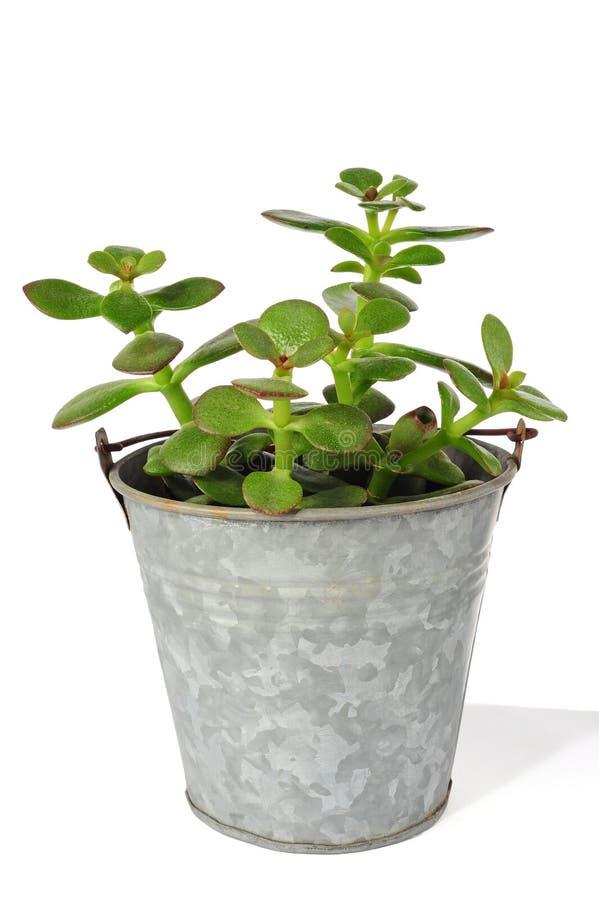 Suckulent jade eller lycklig växt fotografering för bildbyråer
