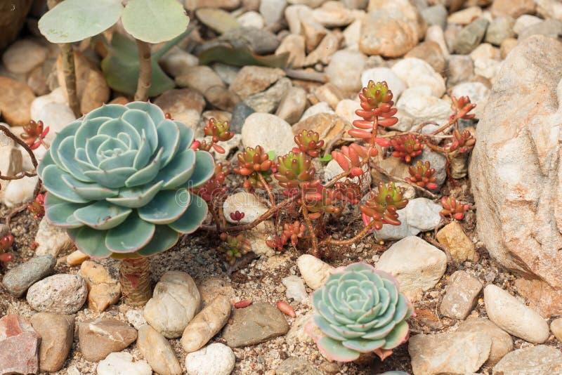 Suckulent kaktusökenväxt i trädgård arkivbilder