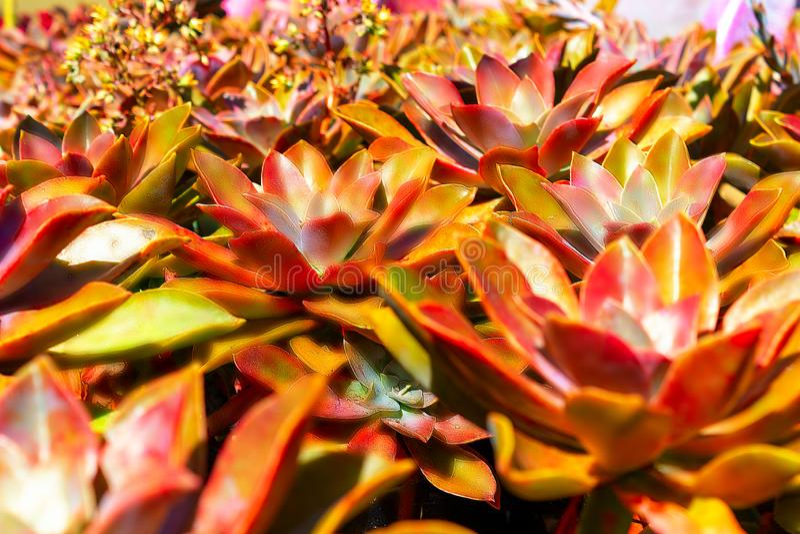 Suckulent orange växtkaktus för Closeup Echeveria royaltyfria foton