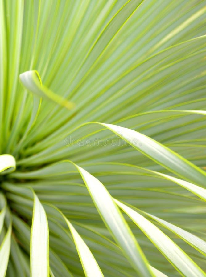 Suckulent palmliljav?xtn?rbild, tagg och detalj p? sidor av den Narrowleaf palmliljan royaltyfri fotografi