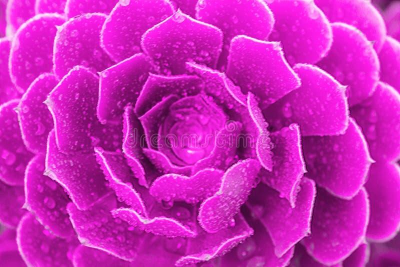 Suckulent purpurfärgad växtkaktus för Closeup Echeveria arkivbilder