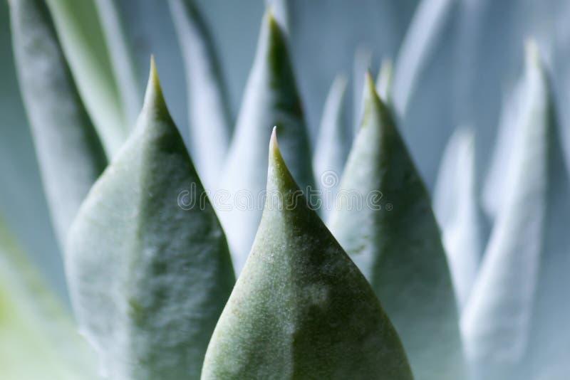 Suckulent växt arkivbild