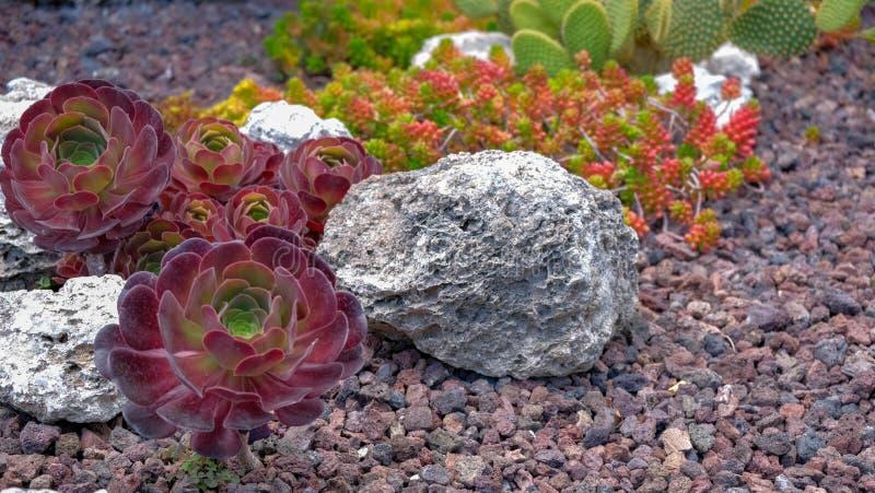 Suckulent växt för Aeonium på vulkanisk stenbakgrund royaltyfri bild