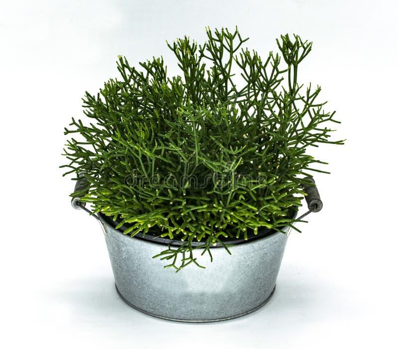 Suckulent växt i en behållare royaltyfria bilder