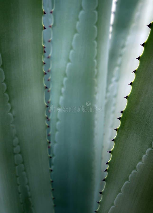 Suckulent växtnärbild, ny sidadetalj av Agave americana fotografering för bildbyråer