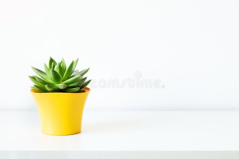 Suckulent v?xt i ljus gul blomkruka mot den vita v?ggen Husv?xt p? den vita hyllan med kopieringsutrymme royaltyfria foton