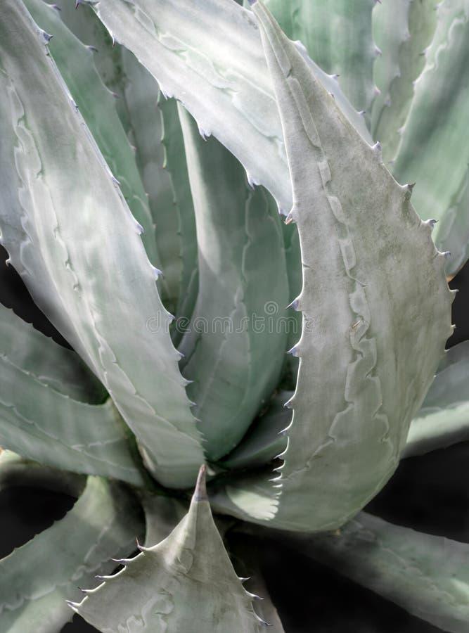 Suckulent v?xtn?rbild, ny sidadetalj av Agave americana arkivfoto