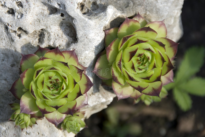 suckulenta gröna växter royaltyfria foton