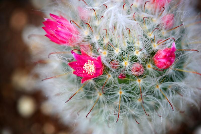 Suckulenta växter blommar härligt attraktivt royaltyfri bild